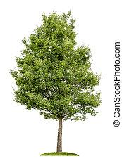 à feuilles caduques, blanc, arbre, isolé, fond