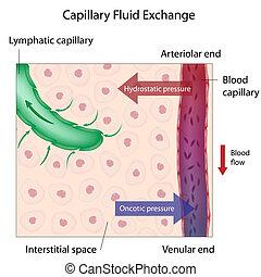 échange, capillaire, eps10, fluide