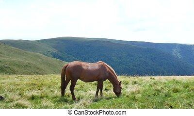 écorchures, cheval, solitaire, montagnes., carpathians