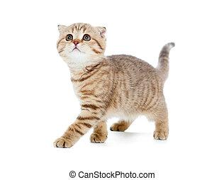écossais, chaton, marche, isolé, chat, pli, studio, ou, rayé, coup