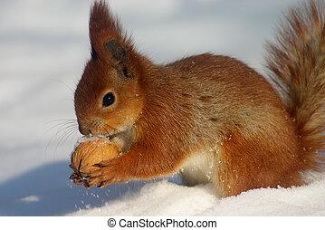 écrou, écureuil, rouges