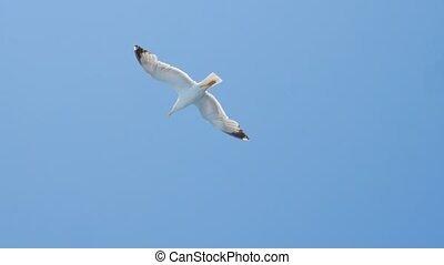 égéen, haut voler, voyage, bleu, liberté, mouette, it., sauvage, clair, oiseau mer, concept., nature., sea., ciel, flying., sky., oiseaux, idée