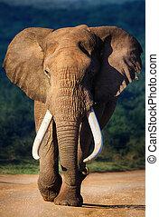 éléphant, approchant