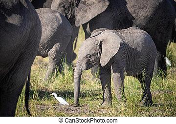 éléphant, blanc, troupeau, bébé, éléphants, amboseli, egret
