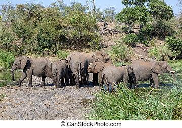 éléphants, parc, national, afrique, troupeau, kruger, sud