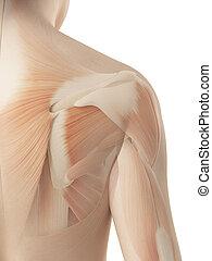 épaule, anatomie, -, femme, musculaire