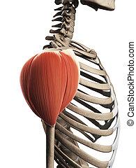 épaule, muscle