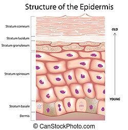 épiderme, peau