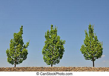 érable, arbres