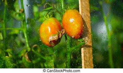 été, arrosage, jour ensoleillé, tomates