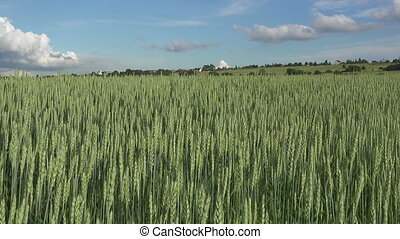 été, balance, blé, panorama, ensoleillé, vert, jour, vent, oreilles