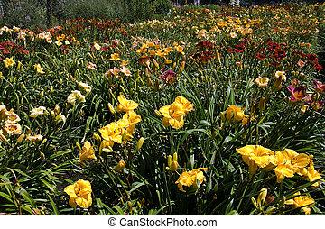 été, daylilies, mélange, coloré