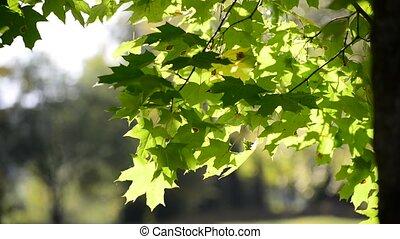 été, feuilles, jour ensoleillé, érable
