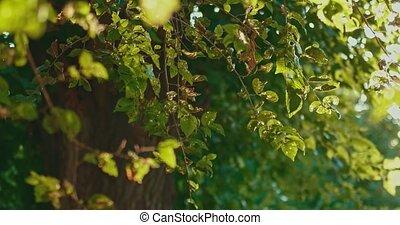 été, feuilles orme, arbre, secousse, jour, vent