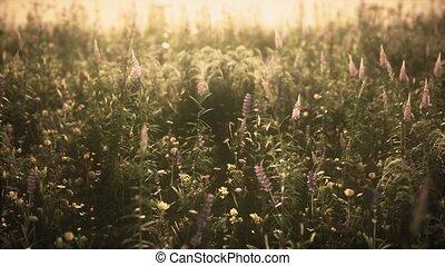 été, fleurs, champ, coucher soleil, sauvage