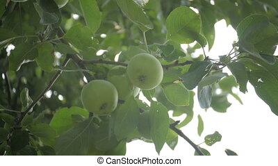 été, jardin, soleil, sur, arbre, pommes vertes