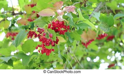 été, lent, baies rouges, forest., buisson, outdoors., feuilles, viburnum, branche, mouvement, garden.