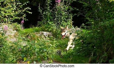 été, loup