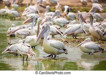 étang, diffusion, debout, ailes, pélican, zoo, fond