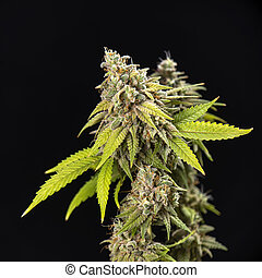 étape, tard, cheveux, chênes, fleurir, cannabis, (thousand, strain), visible, feuilles, kola, marijuana