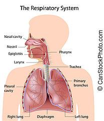 étiqueté, système respiratoire