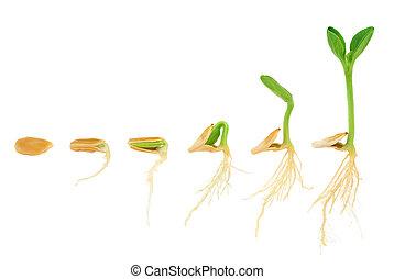 évolution, concept, séquence, isolé, plante, croissant, citrouille
