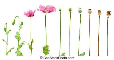 évolution, opium, isolé, fond, pavot, blanc
