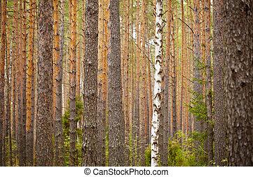-, pin, une, forêt, fond, bouleau
