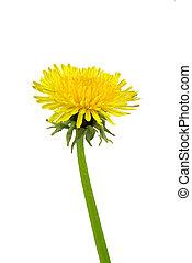 02, fleur blanche, pissenlit