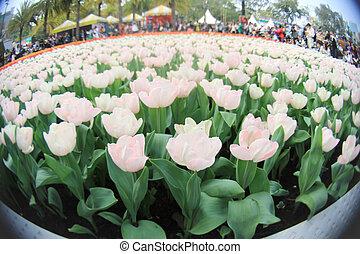 2011, hk, exposition, tulipe, fleur