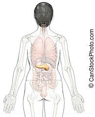 3d, medically, précis, illustration, femme, rendu, pancréas