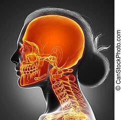 3d, rendu, medically, crâne, illustration, précis, mis valeur