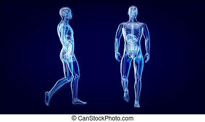 4k, marche, concept, homme, anatomie