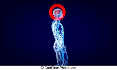 4k, marche, concept, homme, xray, anatomie