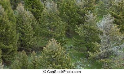 aérien, pins, par, paradis, montana, course, loups, vallée