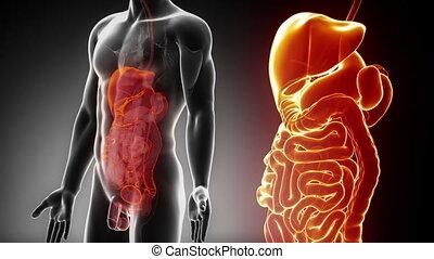 abdominal, mâle, détaillé, -, vue