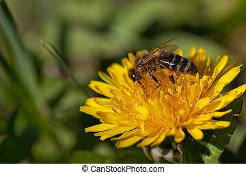 abeille, haut, collects, fin, nectar, fleur