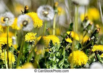 abeille, pissenlit, voler, fleurs, pré