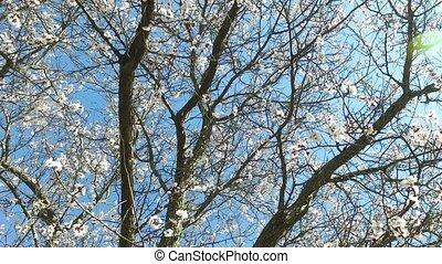 abricot, arbre fleurissant