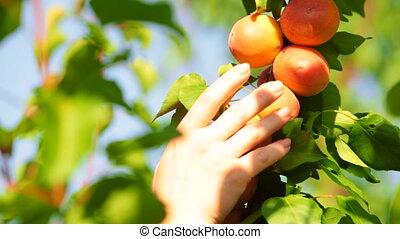abricot, cueillette, arbre