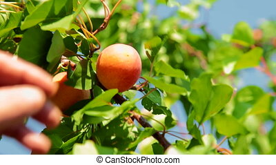 abricot, cueillette
