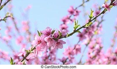 abricot, floraison, branche arbre