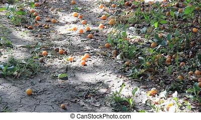 abricot, fruits, arbre, sous