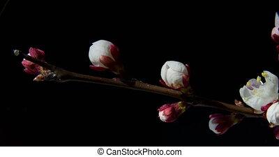 abricotier, branche, fleurir
