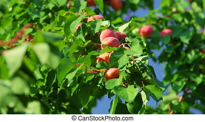 abricots, arbre, mûre