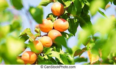 abricots, arbre