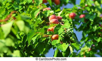 abricots, récolte