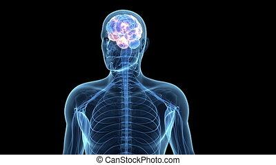 actif, cerveau