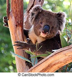 adelaide, eucalyptus, australie, koala, arbre