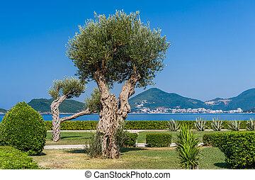 adriatoc, arbre, shore., park., mer, olive